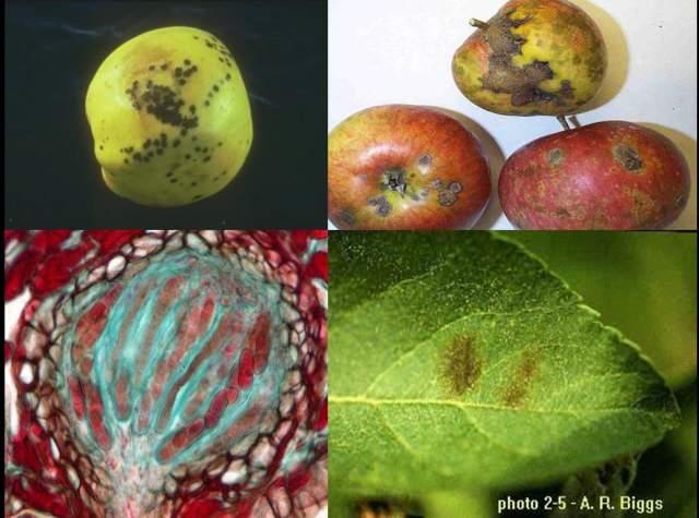 دانلود پاورپوینت بیماریهای مهم درختان میوه